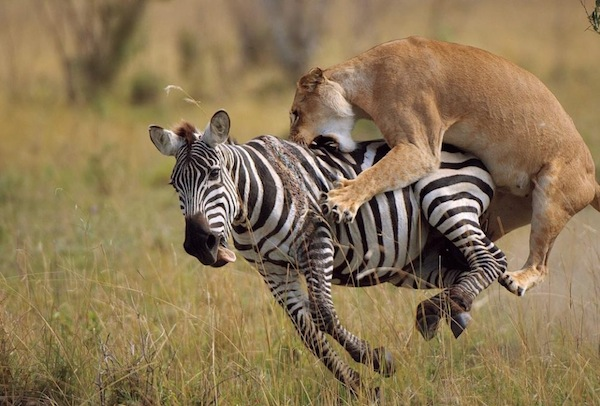 lion_zebra_hunt